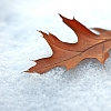 Another leaf in the snow